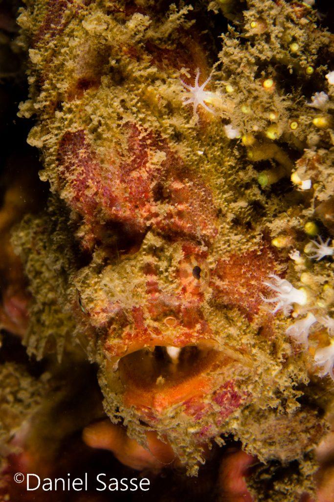 Roundspot Frogfish