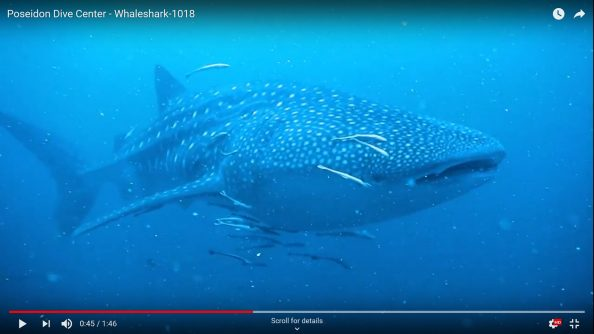 Whaleshark sighting